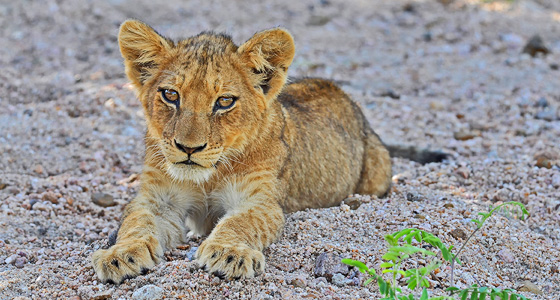 Lion Cub, Guided Safaris, Far and Wild Safaris