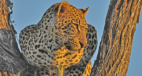 Leopard, Guided Safaris, Far and Wild Safaris