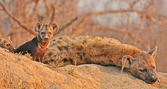 Hyena at a den, Guided Safaris, Far and Wild Safaris