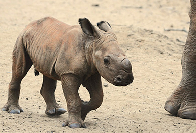 White Rhino Calf Mkuze Photographic Safaris Tours