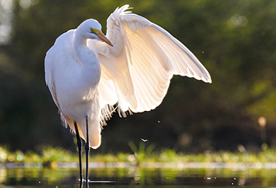 Guided Photographic Safaris Great Egret Zimanga Private Game Reserve KwaZulu-Natal South Africa