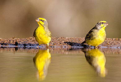 Yellow-fronted Canary Zimanga Private Game Reserve Photographic Safaris Hide Sessions KwaZulu-Natal South Africa