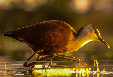 African Jacana Zimanga Private Game Reserve Photographic Safaris Hide Sessions KwaZulu-Natal South Africa