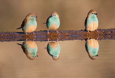 Blue Waxbills Zimanga Private Game Reserve Photographic Safaris Hide Sessions KwaZulu-Natal South Africa