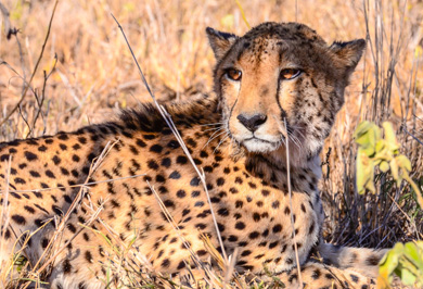 Cheetah Photo Safaris Photography Tours Wildlife photographic Zimanga Private Game Reserve Photographic Safaris Private Safaris Tours Guide