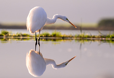 Great Egret Zimanga Photographic Photo Safaris Private Safaris Tours Guide