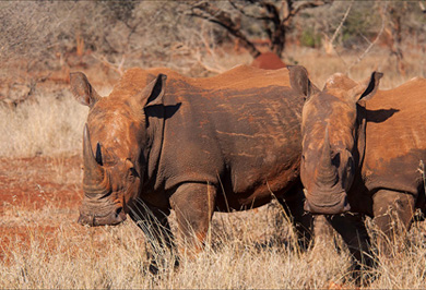Rhino Zimanga Private Game Reserve Photographic Safaris Hide Sessions KwaZulu-Natal South Africa