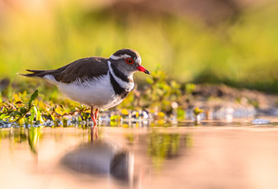 Three Banded Plover Zimanga Private Game Reserve Photographic Safaris Hide Sessions KwaZulu-Natal South Africa