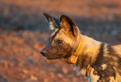 Wild Dog Wildlife Safaris Photography Tours Zimanga Private Game Reserve Hide Sessions Photographic Safaris Private Safaris Tours Guide