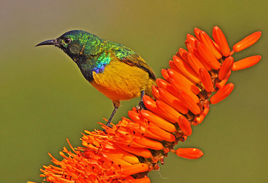 Guided Safaris Hluhluwe iMfolozi Park Collared Sunbird Photographic Safaris KwaZulu-Natal