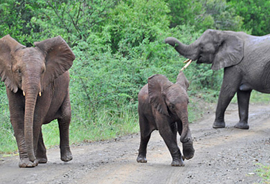 Guided Safaris Hluhluwe iMfolozi uMfolozi Park Big Five Wildlife KwaZulu-Natal
