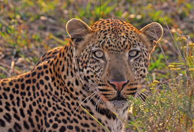 Leopard Sighting Guided Safaris Tours Hluhluwe iMfolozi uMfolozi Park Big 5 South Africa