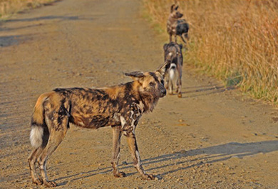 Wild Dogs Guided Safaris Tours Hluhluwe iMfolozi Park South Africa