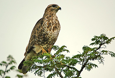 Steppe Buzzard Guided Safaris Tours Lake St Lucia Hluhluwe iMfolozi Park South Africa