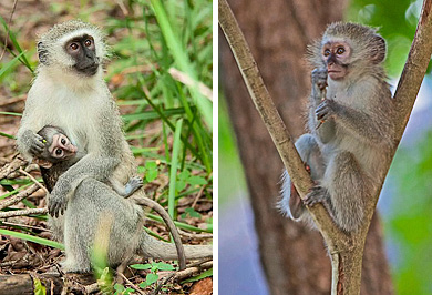 Guided Safaris Hluhluwe iMfolozi Park Vervet Monkeys KwaZulu-Natal