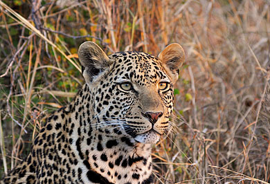 Sabi Sands Private Game Reserve Big Five Guided Safaris Tours Wildlife Mpumalanga South Africa