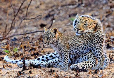 Big Five Timbavati Private Game Reserve Guided Safaris Tours Wildlife Mpumalanga South Africa