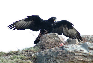 Verreaux Eagle Giants Castle Camp Central Drakensberg Guided Safaris Tours Drakensberg KwaZulu-Natal
