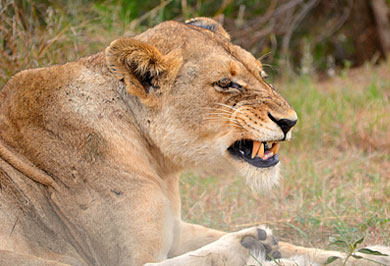 Big Five Kruger National Park South African Guided Safaris Tours Mpumalanga
