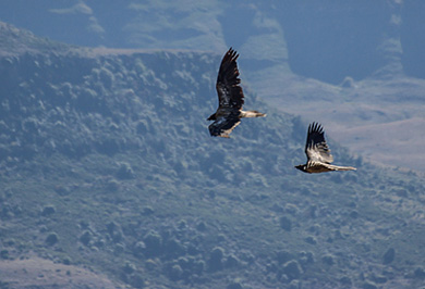 Bearded Vultures Photographic Photo Safaris Giants Castle Drakensberg Mountains Private Safaris Tours Guide