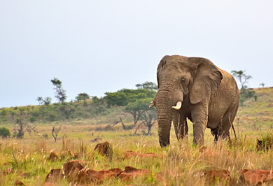 Elephant Nambiti Private Game Reserve Photographic Photo Safaris Private Safaris Tours Guide