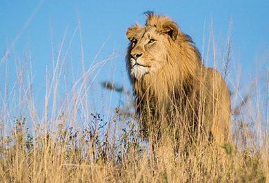 Lion Nambiti Photographic Safaris Tours