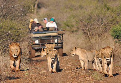 Pride Lion Game Drives Photographic Photo Safaris Private Safaris Tours Guide