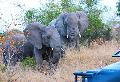 Elephants Private Safaris Tours Guide Sabi Sands Photographic Photo Safaris
