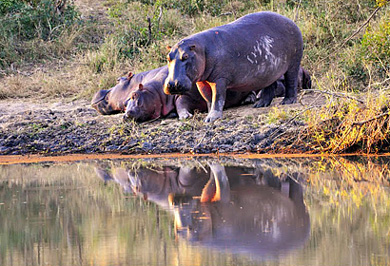 Hippos Private Safaris Tours Guide Photographic Photo Safaris