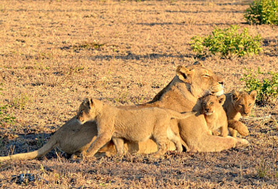 Pride Lion Lioness Cubs Photographic Photo Safaris Sabi Sands Private Game Reserve Private Safaris Tours Guide