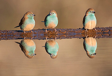 Blue Waxbills Hide Zimanga Private Game Reserve Photographic Photo Safaris Private Safaris Tours Guide