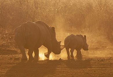 Rhino Sunset Photographic Photo Safaris Private Safaris Tours Guide