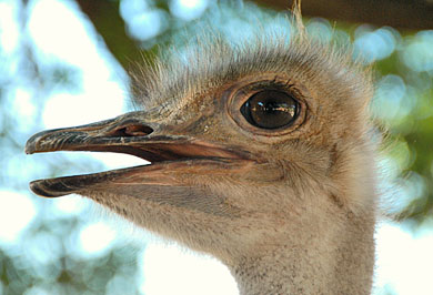Ostrich Farm Eastern Cape Garden Route Guided Tours South Africa