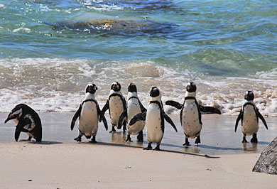Cape Town Bolders Beach Garden Route Guided Tours Western Cape South Africa