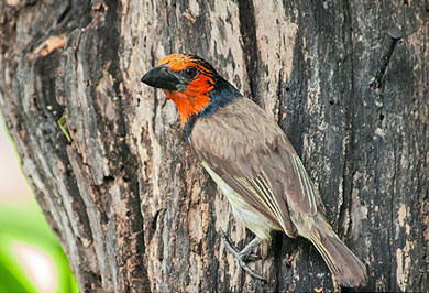Cape Town Black-collared Barbet Garden Route Guided Tours Western Cape South Africa